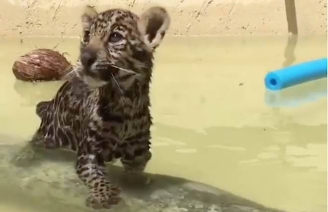 WATCH: Beat the Heat Like This Baby Jaguar in Miami