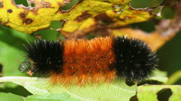 Can This Caterpillar Really Predict The Severity of Winter?