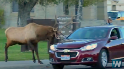 WATCH: Elk Charges Car in Yellowstone –Welcome to the Elk Rut