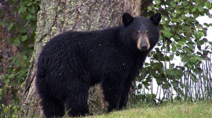 Un-Bear-able Winter due to El Nino