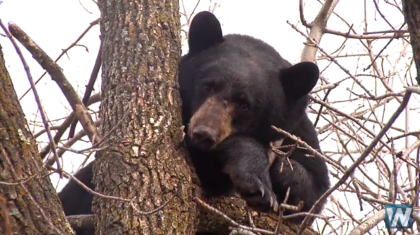 Bear Makes Home in Downtown Duluth Tree