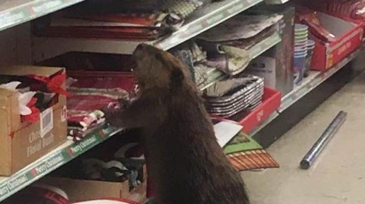 A Beaver Just Doing a Bit of Christmas Shopping at a Dollar Store
