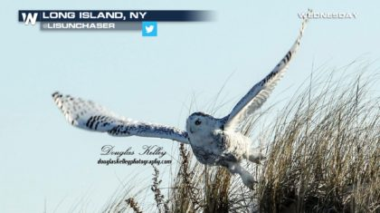 Inauguration Day Distraction– Snowy Owl Facts and Photos