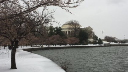 D.C. Cherry Blossoms Damaged by Return of Winter