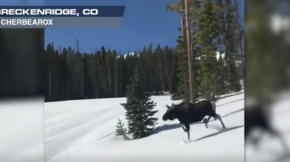 Moose Races Snowboarders at Breckenridge Ski Area