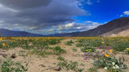 It's Back: The Superbloom Returns to this Californian Desert