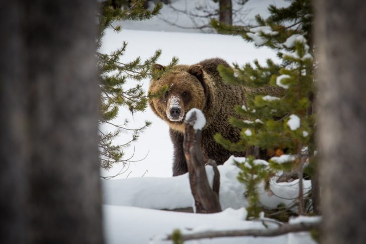 Bears Emerge from Hibernation Looking for Food