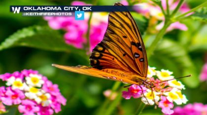 Favorable Temperatures Lead To Increase in Painted Lady Butterflies