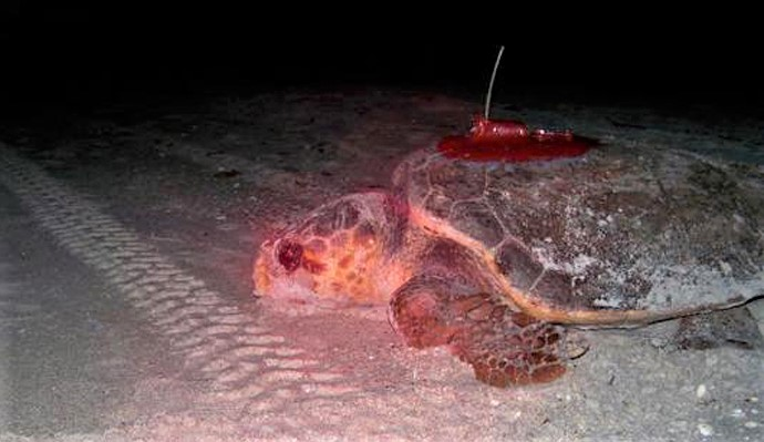 The Sea Turtle that Refused to be Beaten by the Storm