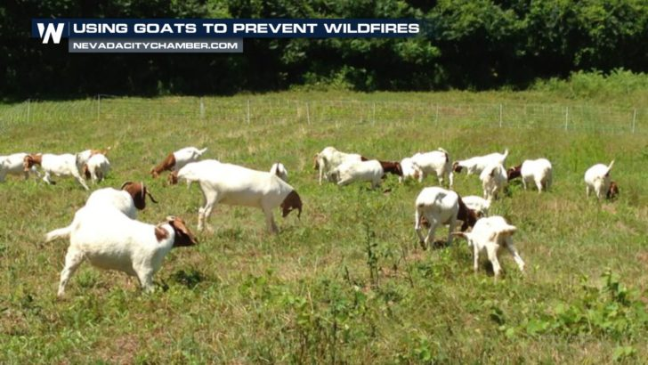 Preventing Wildfires: GOAT Fund Me