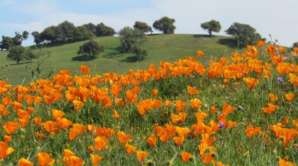 Orange You Glad It's Spring? Poppies Blooming in California