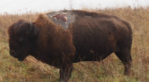 The Bison That Survived a Direct Lightning Strike