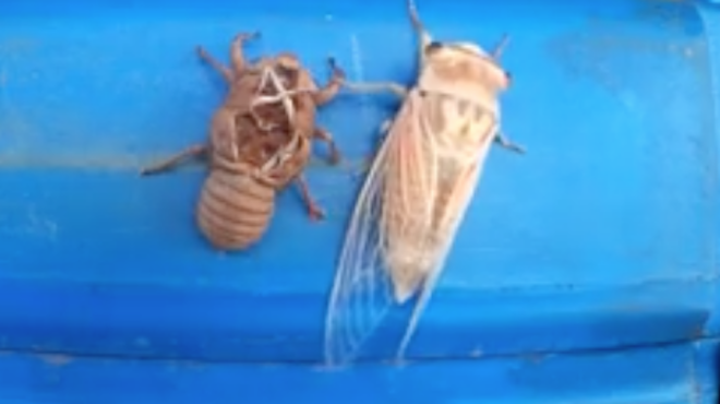 Mesmerizing Time-Lapse of a Cicada Shedding Its Skin Is Grossly Awesome