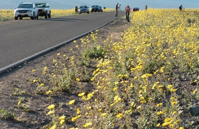 NPS-photo-visitors-parked-near-flowers-on-Badwater-Road-686-pixels-wide