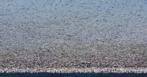 WATCH: The Great Snow Geese Migration