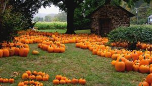 Got Your Pumpkin? How the Weather Caused a Huge Shortage