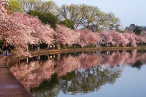 5 Ways to Experience the Glory of 2016 National Cherry Blossom Festival