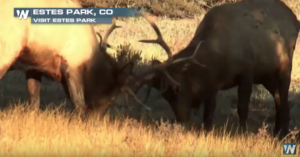 Estes Park Colorado –Running of the Elk – Try Getting to Work in This Traffic: