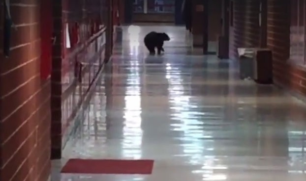 Hall Pass? Montana High School Plagued by Bears