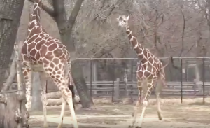 WATCH: Jump for Joy – Giraffe Excited About Warm Weather